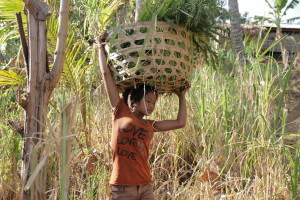 Ni Ketut's daily chores; fetching grass for their cows, which are their 'bank'